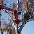 We've been busy with miscellaneous trimming project the last few days. Today we headed out to Aguila to remove a Eucalyptus tree. Several trees on the property are in a […]