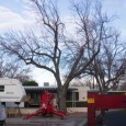 We finished the Mulberry tree re-topping I wrote about in my last post, then moved things into place for today's job – removing a large Mulberry tree with a crane....