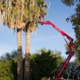 Today we got to work at a really nice place in Wickenburg trimming California Fan Palms (Washingtonia filifera). I had trimmed these trees twice before with climbing spikes (that was...