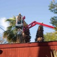 Our job today was to remove two California Fan Palms (Washingtonia filifera). These were nice trees but they hadn't been trimmed in years. The property owner didn't like them and...