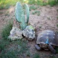 We have had our habitatready for a while – I wanted the native plants to get a head start on the tortoise. Finally a few weeks ago I sent in all...
